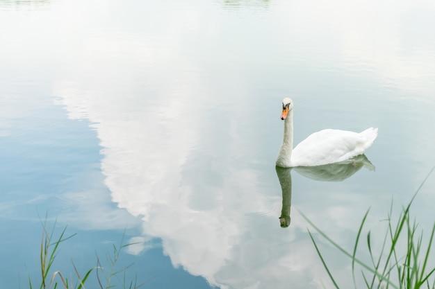 Pássaro (cisnes, cisnes mudos ou cygnus) cor branca nadando em uma lagoa ou água em uma natureza selvagem