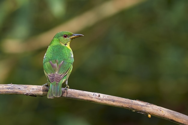 Pássaro colorido, banhos de sol em um galho