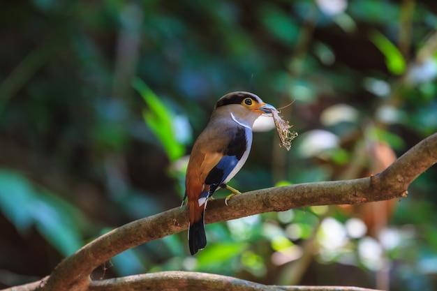 Pássaro colorido broadbil silver-breasted