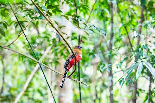 Pássaro colorido (fêmea) vermelho-dirigido de trogon na floresta tropical de tailândia.