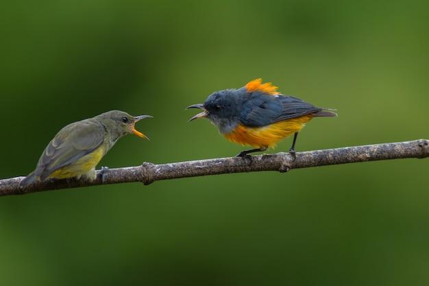 Pássaro colorido laranja inchado pica-pau