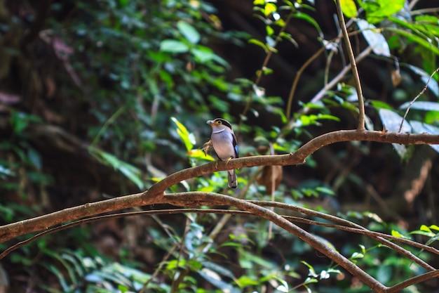 Pássaro colorido silver-breasted broadbill (serilophus lunatus) no ramo de árvore
