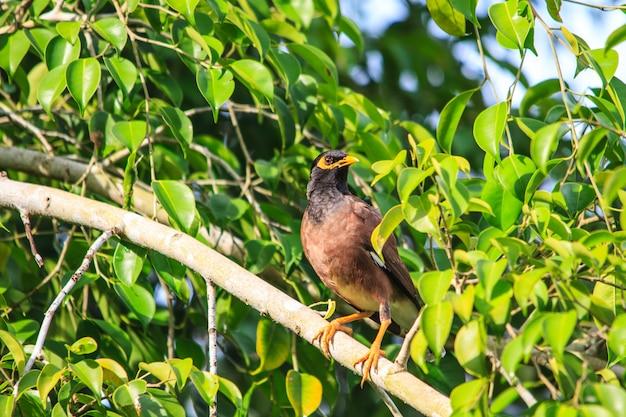 Pássaro comum myna