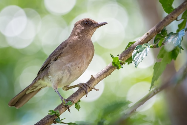 Pássaro comum pousado em um galho com folhas pequenas e um bokeh verde circular