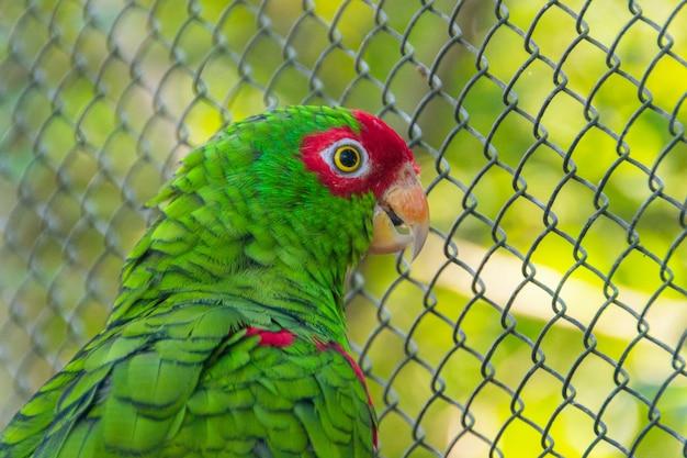 Pássaro conhecido como papagaio de óculos vermelho
