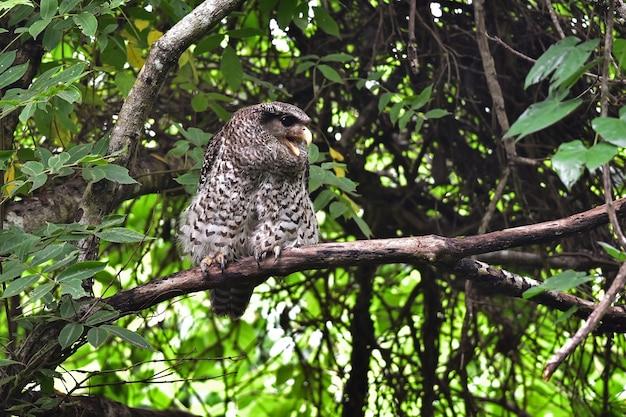 Pássaro coruja-águia-pintada sentado em uma árvore na natureza, tailândia