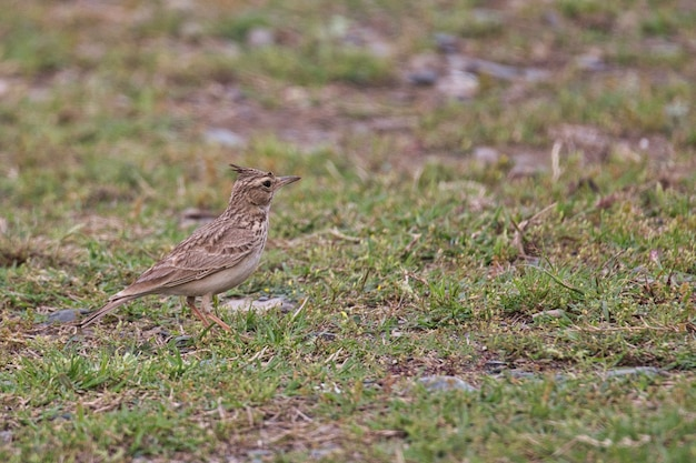 Pássaro cotovia no chão no paquistão