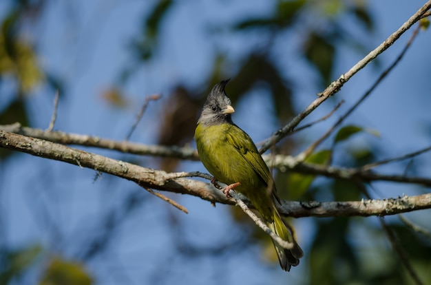 Pássaro crested finchbill (spizixos canifrons)