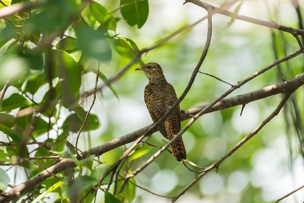 Pássaro (cuco queixoso) em uma natureza selvagem