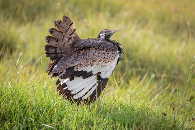 Pássaro da cratera ngorongoro na tanzânia em pé na grama