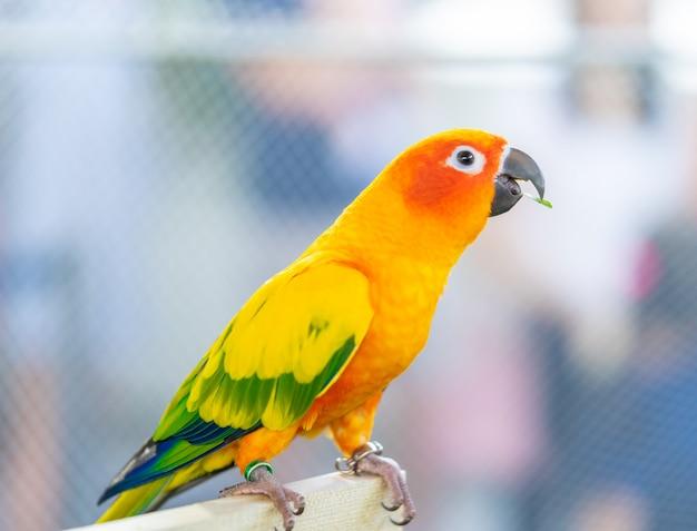 Pássaro de amor laranja em pé na vara de madeira