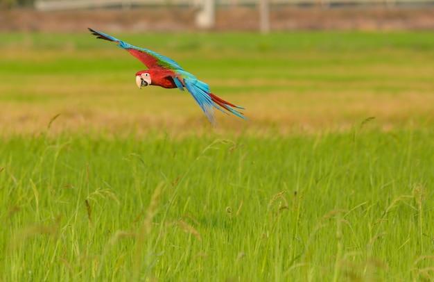 Pássaro de arara bonito voando ação no campo