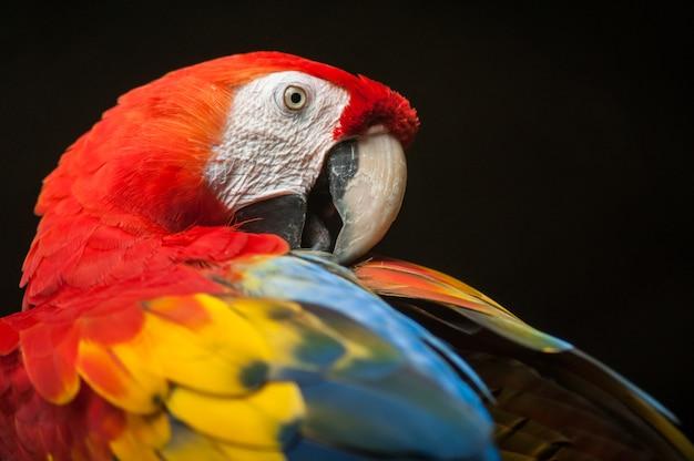 Pássaro de arara escarlate bonito com bom fundo escuro