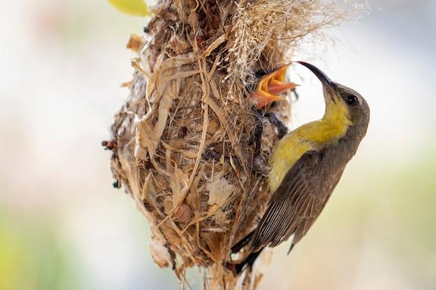 Pássaro de bebê de alimentação roxo de sunbird (fêmea) no ninho do pássaro. (cinnyris asiaticus). pássaro. animais.