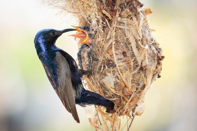 Pássaro de bebê de alimentação roxo de sunbird (homem) no ninho do pássaro. (cinnyris asiaticus). pássaro. animais.