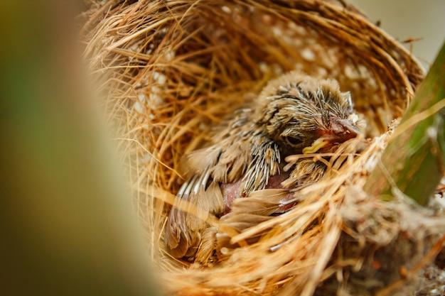Pássaro de bebê no ninho na casa dos povos.