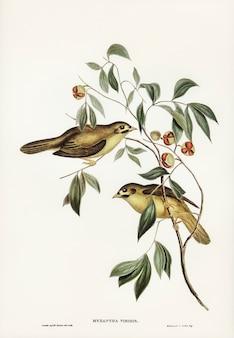 Pássaro de bell australiano (myzantha melanophrys) ilustrado por elizabeth gould