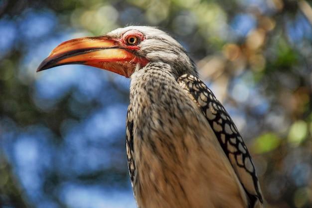 Pássaro de calau em kruger, áfrica do sul
