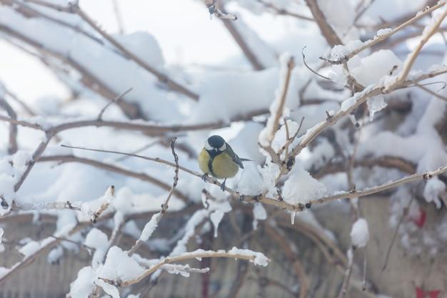 Pássaro de chapim maior sentado em uma lata de sementes. inverno neve fria