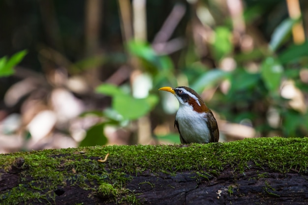 Pássaro de cimitarra-tagarela branca (po matorhinus schisticeps) na natureza