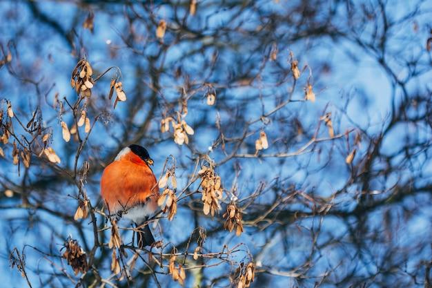 Pássaro de dom-fafe no inverno nos galhos