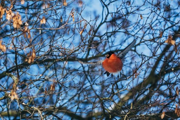Pássaro de dom-fafe voa entre galhos de árvores
