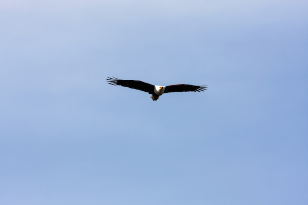Pássaro de fisher acima do lago naivasha. áfrica