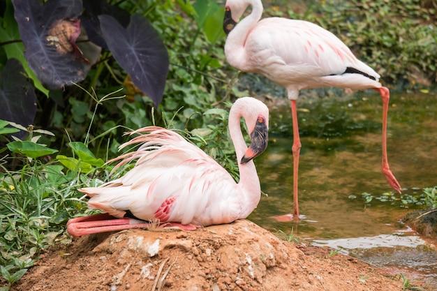 Pássaro de flamingos cor de rosa dormir no chão com rio na floresta