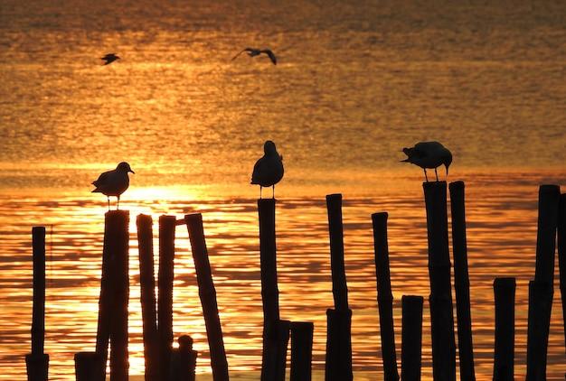 Pássaro de gaivota silhueta ao pôr do sol na tailândia
