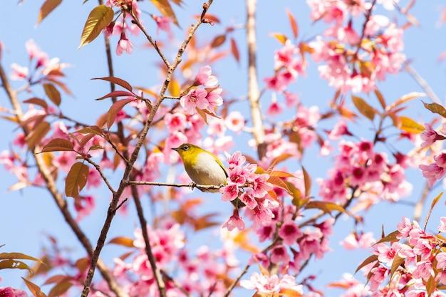 Pássaro de olho branco na árvore de flor de cerejeira