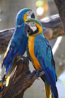 Pássaro de papagaio de arara azul e amarelo no jardim na tailândia.