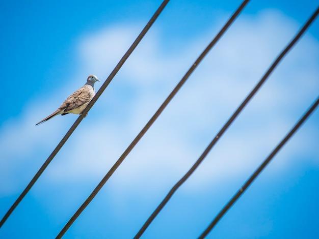 Pássaro de pomba nos fios.