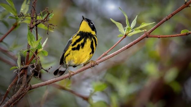 Pássaro de toutinegra de magnólia em um galho