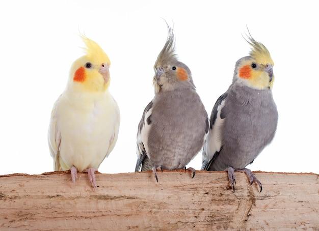 Pássaro do cockatiel