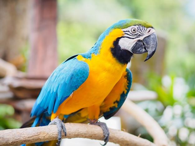 Pássaro do macaw do azul e do ouro do close up que senta-se em um ramo de árvore.