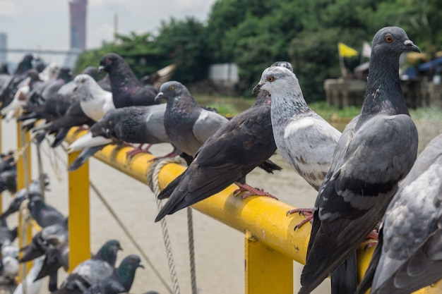 Pássaro do pombo no fundo exterior, pombos na porta.