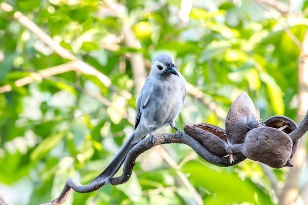 Pássaro, drongo cinza no fundo da natureza
