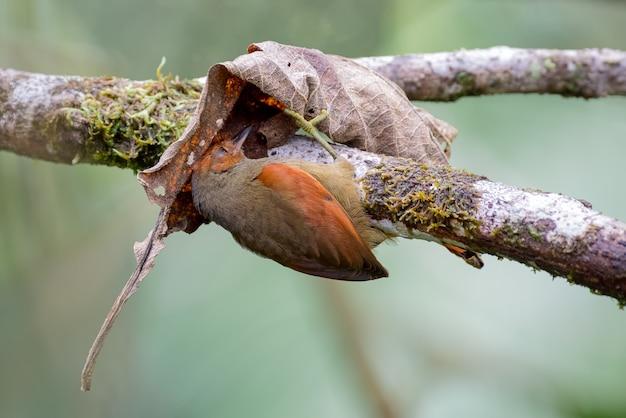 Pássaro em busca de alimento entre as folhas secas de uma velha árvore