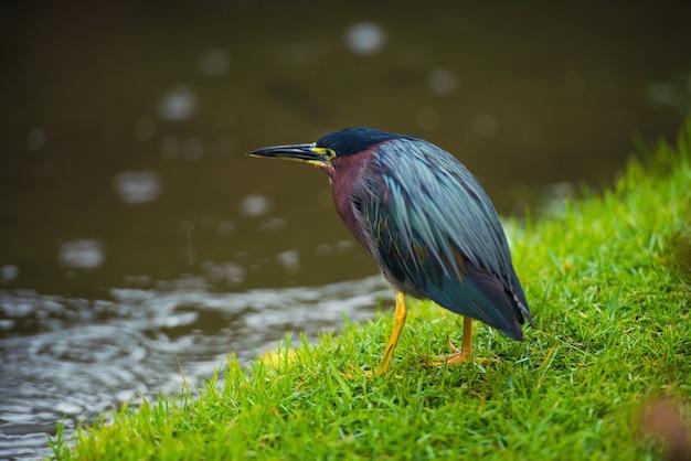 Pássaro em um prado verde perto de um rio na república dominicana, butorides virescens.