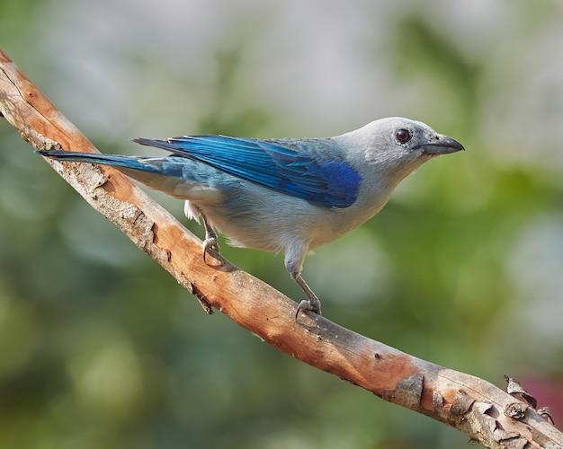 Pássaro empoleirado em uma goiaba