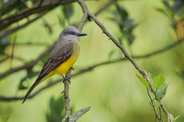 Pássaro empoleirado em uma laranjeira
