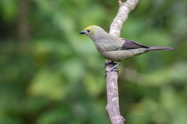 Pássaro empoleirado olhando cuidadosamente de um galho de árvore vertical