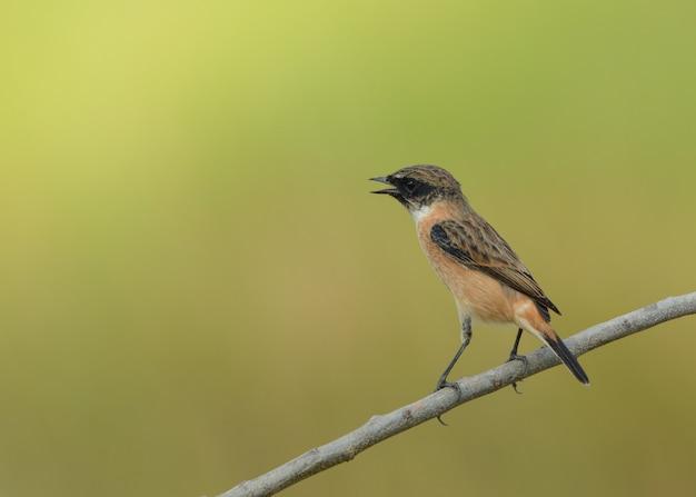 Pássaro encantador, stonechat oriental com fundo verde da natureza.