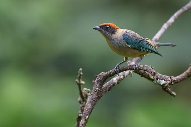 Pássaro endêmico descansando sobre um galho de árvore seca