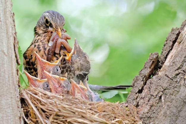 Pássaro está empenhado em alimentar seus filhotes no ninho, o melro no ninho incuba filhotes