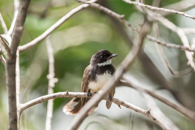 Pássaro (fantail pied da malásia) em uma natureza selvagem