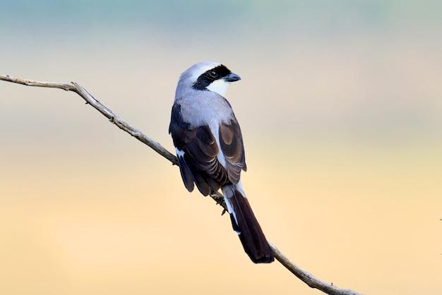 Pássaro fiscal em um galho