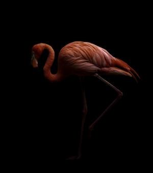 Pássaro flamingo americano no backhround escuro