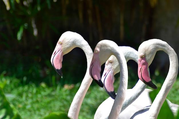 Pássaro flamingo é um pássaro muito bonito, com pescoços e pernas compridos