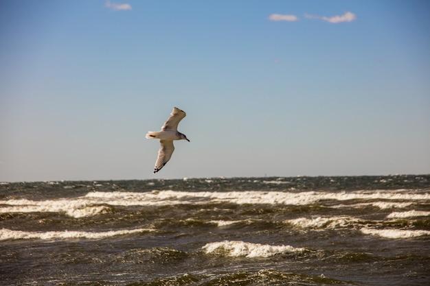 Pássaro gaivota de grande dorso voando livremente sobre o oceano sob um céu claro